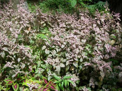 foglie con poca clorofilla..